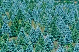oh christmas tree oh christmas tree u2026choose and cut your own in