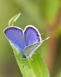 capture minnesota photo contest blue butterfly by larry kaasa