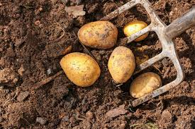 Container Gardening Potatoes - earth up container grown potatoes news ise garden centre