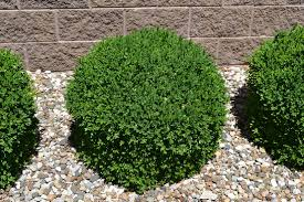 10 easy care plants for green velvet boxwood is a great low maintenance evergreen plant