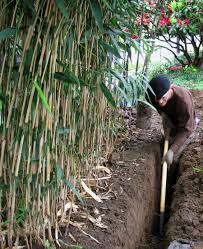 Most Difficult Plants To Grow Bamboo Care And Maintenance A Guide For Growing And Controlling