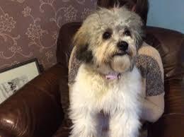 bichon frise meme bichon frise cross poodle kidwelly carmarthenshire pets4homes