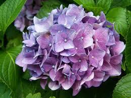 Purple Hydrangea Free Photo Bunch Of Flowers Free Image On Pixabay 2148813