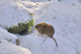 vole control and treatments for the home yard and garden