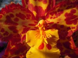oncidium orchid oncidium orchids 8 mistakes to avoid sunday gardener