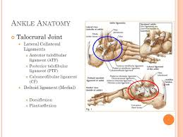 Lateral Collateral Ligament Ankle P Eripheral B Lood F Low U0026 T Emperature M Odulations After C Ommon