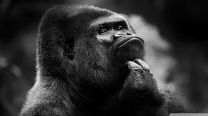 thoughtful gorilla bw 4k hd desktop wallpaper for 4k ultra hd