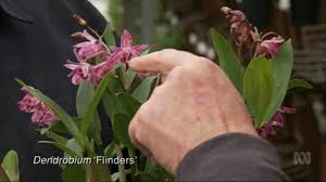 australian native plant society australian native orchids at australian orchid nursery youtube