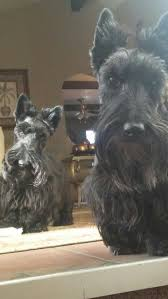 scottish yerrier haircuts 39 best scottish terrier haircuts images on pinterest doggies