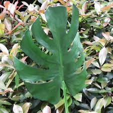5 pcs lot besar monstera daun kelapa daun berbentuk palsu tanaman
