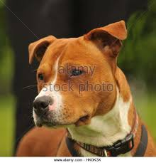 american pitbull terrier illegal illegal dog fighting stock photos u0026 illegal dog fighting stock