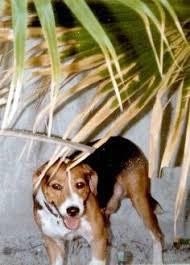 australian shepherd beagle mix australian shepherd beagle mix looks like baby cute
