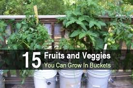 fruits and veggies you can grow in buckets