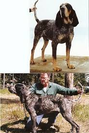 bluetick coonhound breeders ohio ukc forums post pics of the best looking hound