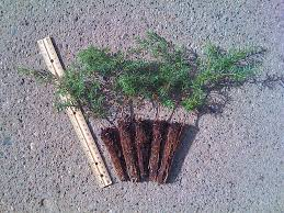 evergreen tree seedlings make evergreen tree favors
