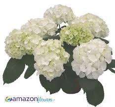 wholesale hydrangeas wholesale hydrangeas buy hydrangeas buy hydrangeas online