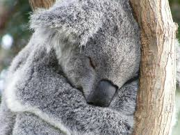 interesting facts australian koala foundation