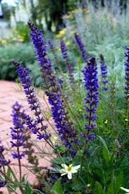 landscaping 101 how to deadhead flowers gardenista deadhead salvia landscaping gardening diy gardenista