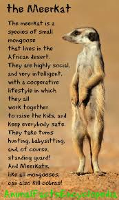 meerkat facts animal facts encyclopedia