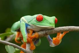 eyed tree frog for sale eye tree frogs for sale