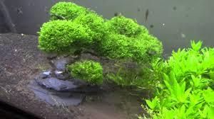 mini pellia bonsai tree in my nature aquarium