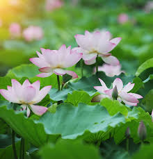Lotus Flower Parts - stay with us