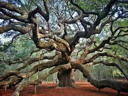 best 25 oak trees ideas on trees trees