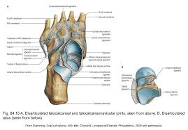 Anatomy Of The Calcaneus Applied Anatomy Of The Lower Leg Ankle And Foot Clinical Gate