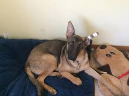 belgian shepherd health problems any point in taping ear german shepherd dog forums
