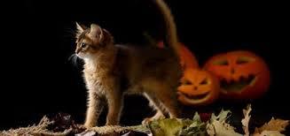 Kitten Halloween Costume Cats Halloween Costumes U2014 Cat
