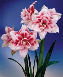 Amaryllis Flowers Amaryllis Elvas Royal Dutch Double Amaryllis Amaryllis