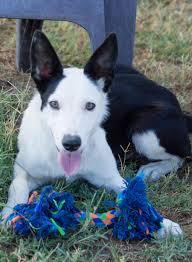 belgian shepherd golden retriever mix adopted dogs