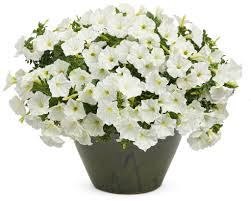 supertunia white petunia hybrid proven winners