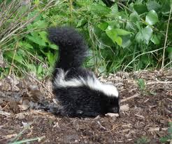 skunk picture free photograph photos public domain