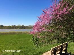 redbud blooming in northwest ohio