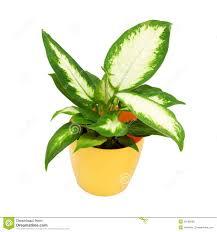 house plant isolated on white stock photo image 46158538