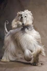 afghan hound teeth 186 best images about like fulanita on pinterest
