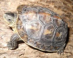 turtles that stay small finding the perfect pet turtle pet