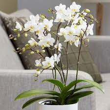 moth orchid buy moth orchid phalaenopsis white willd orchid delivery by