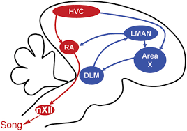 htr2 receptors in a songbird premotor cortical like area modulate
