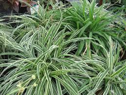 sorte de bambou chlorophytum planter et cultiver u2013 ooreka