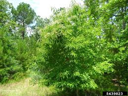 sourwood tree seedlings for sale wholesale lowest prices