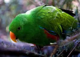 birds tropical eclectus bird parrot hd wallpaper of birds for