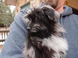 australian shepherd labradoodle aussiedoodle australian shepherd poodle mix