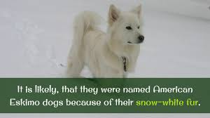 care for american eskimo dog 13 facts you should know about american eskimo dog youtube
