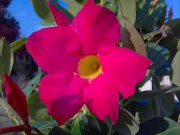 july plant pick mandevilla sloat garden center