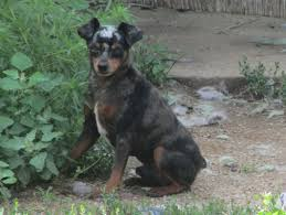 american eskimo dog rescue indiana harlequin pinscher breed information and pictures on puppyfinder com