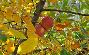 Transplant Fruit Trees - fruit tree care fall planting stark bro u0027s
