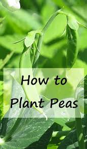 Container Gardening Peas - 2050 best vegetable garden bloggers u0026 writers united images on