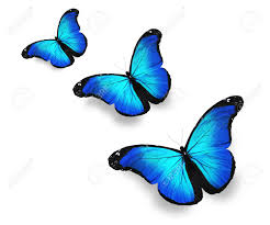 three blue butterflies isolated on white stock photo picture and